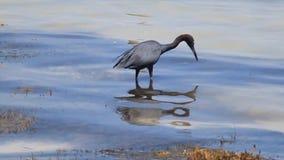 mały niebieski heron zdjęcie wideo