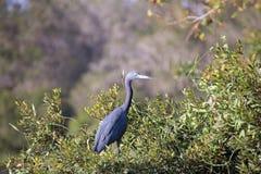 mały niebieski heron Obraz Royalty Free