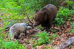 Mały niedźwiedź Zdjęcie Stock