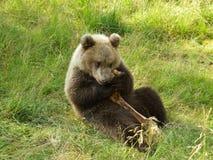 Mały niedźwiedź je jego przekąska - biegunowy zoo zdjęcia royalty free