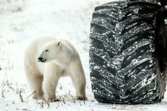Mały niedźwiedź lub duży koło? obrazy royalty free