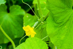 mały ogórkowy kwiat fotografia royalty free