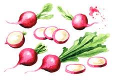 Mały ogrodowy świeży czerwonej rzodkwi set projekty graficzny element?w wektora ilustracyjny Akwareli r?ka rysuj?ca ilustracja, o royalty ilustracja