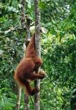 Mały orangutan zrozumienie na drzewie i spojrzenia na kokosach w jego ręka Zdjęcie Stock