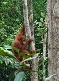 Mały orangutan zrozumienie na drzewie Zwierzęta w dzikim, przyroda Zdjęcie Royalty Free