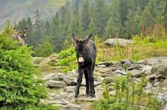 Mały osioł na Carpathians Zdjęcia Royalty Free