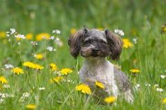 Mały osoba z wyżu demograficznego pies z kwiatami Zdjęcia Stock