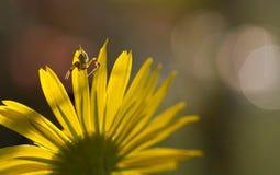 Mały pająk na kwiacie Fotografia Royalty Free