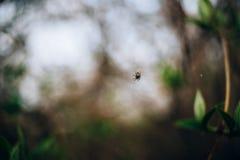 Mały pająk na sieci wśród wiosny ulistnienia zdjęcia stock