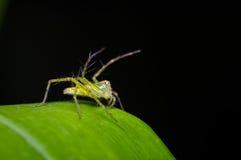 Mały pająk na zielonym liściu Zdjęcia Stock