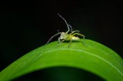 Mały pająk na zielonym liściu Fotografia Stock