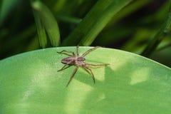 Mały pająk na zielonym liściu Zdjęcie Royalty Free