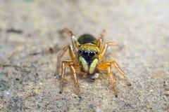 Mały pająka doskakiwanie fotografia royalty free