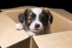 Papillon szczeniak w kartonu pudełku zdjęcie stock