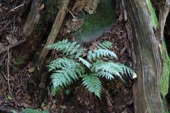 Mały paprociowy dorośnięcie między drzewnymi korzeniami Fotografia Royalty Free