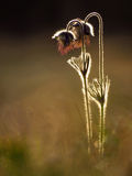 Mały pasque kwiatu Pulsatilla pratensis ssp nigricans zdjęcia stock