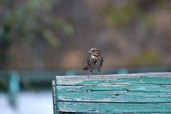 Mały Pieśniowy wróbel umieszcza na błękit desce Fotografia Royalty Free