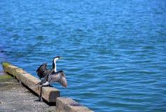 Mały pied kormoranu ptak Obrazy Royalty Free