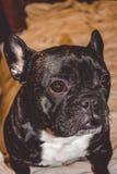 Mały pies czarny kolor z uroczymi oczami i wielkimi ucho Marszczący kaganiec rodowód Traken Kan Corso, Francuski buldog pet obrazy royalty free