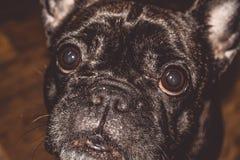 Mały pies czarny kolor z uroczymi oczami i wielkimi ucho Marszczący kaganiec rodowód Traken Kan Corso, Francuski buldog pet obraz stock