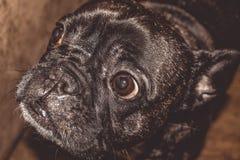Mały pies czarny kolor z uroczymi oczami i wielkimi ucho Marszczący kaganiec rodowód Traken Kan Corso, Francuski buldog pet fotografia stock