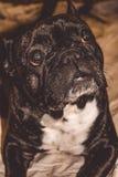 Mały pies czarny kolor z uroczymi oczami i wielkimi ucho Marszczący kaganiec rodowód Traken Kan Corso, Francuski buldog pet zdjęcia stock