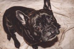 Mały pies czarny kolor z uroczymi oczami i wielkimi ucho Marszczący kaganiec rodowód Traken Kan Corso, Francuski buldog pet zdjęcie royalty free