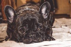 Mały pies czarny kolor z uroczymi oczami i wielkimi ucho Marszczący kaganiec rodowód Traken Kan Corso, Francuski buldog pet zdjęcia royalty free