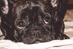 Mały pies czarny kolor z uroczymi oczami i wielkimi ucho Marszczący kaganiec rodowód Traken Kan Corso, Francuski buldog pet obrazy stock
