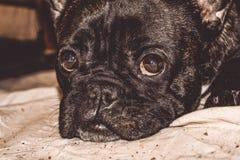 Mały pies czarny kolor z uroczymi oczami i wielkimi ucho Marszczący kaganiec rodowód Traken Kan Corso, Francuski buldog pet obraz royalty free