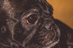 Mały pies czarny kolor z uroczymi oczami i wielkimi ucho Marszczący kaganiec rodowód Traken Kan Corso, Francuski buldog pet fotografia royalty free