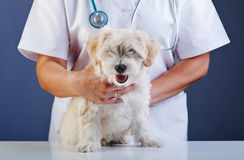 Mały pies egzamininuje przy weterynaryjną lekarką Fotografia Royalty Free