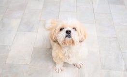 Mały pies hoduje shih tzu brązu futerko Zdjęcie Royalty Free