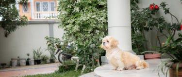 Mały pies hoduje shih tzu brązu futerko Fotografia Royalty Free