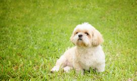 Mały pies hoduje shih tzu brązu futerko w zielonym gazonie Obraz Royalty Free