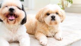 Mały pies hoduje shih tzu brown I białego futerko Obrazy Stock