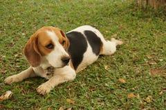 Mały pies i jego boisko fotografia royalty free