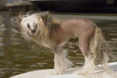 Mały pies na łodzi Obraz Royalty Free