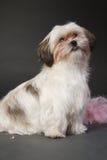 Mały pies przeciw czarnemu tłu Zdjęcia Stock