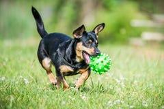 Mały pies przynosi zabawkę obrazy royalty free