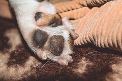 mały pies Traken Kan Corso, Francuski buldog Urocze łapy z pazurami pet fotografia stock