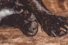 mały pies Traken Kan Corso, Francuski buldog Urocze łapy z pazurami pet zdjęcia royalty free