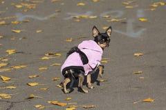 Mały pies ubierający na spadku spacerze obrazy stock