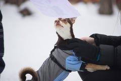 mały mały pies w kapiszon plenerowej sukni zdjęcia royalty free
