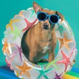 Mały pies w okularach przeciwsłonecznych, nadmuchiwany okrąg wokoło jego szyi, spojrzenia ciekawiący, pojęcie plenerowe aktywność obraz royalty free