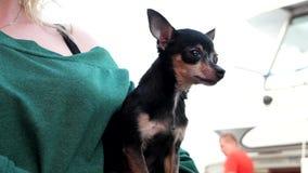 Mały pies w rękach gospodyni domu, chihuahua patrzeje z interesem w różnych kierunkach, zdjęcie wideo