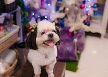 Mały pies z białym włosy hoduje Shih Tzu siedzi uśmiechniętego happil zdjęcia stock
