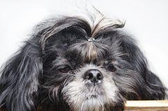 Mały pies z smutną dyszą obrazy royalty free