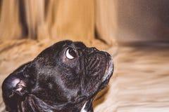 Mały pies z uroczymi oczami i wielkimi ucho Marszczący kaganiec rodowód Traken Kan Corso, Francuski buldog pet zdjęcia stock