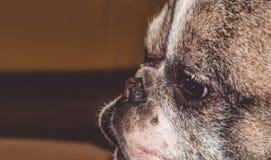 Mały pies z uroczymi oczami i wielkimi ucho Marszczący kaganiec rodowód Traken Kan Corso, Francuski buldog pet obrazy royalty free
